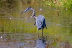 MG_4399-Great-Blue-Heron