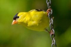 MG_4438-American-Goldfinch