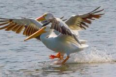 MG_4629-American-White-Pelicans
