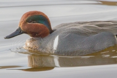 MG_4632-Green-winged-Teal-male