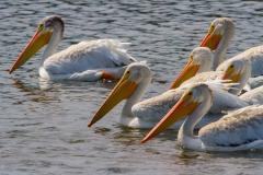 MG_4689-American-White-Pelican