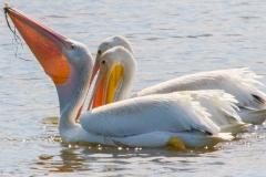 MG_4717-American-White-Pelican