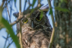 MG_5049-Great-Horned-Owl