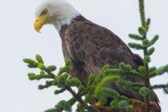 MG_5120-Bald-Eagle