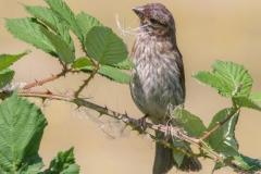 MG_5545-Purple-Finch-juvenile