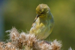 MG_5663-Goldfinch-juvenile