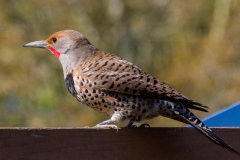 MG_5803-Northern-Red-Shafted-Flicker