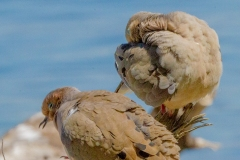 MG_5914-2-Mourning-Doves