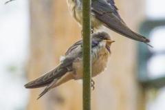 MG_5967-Barn-Swallows