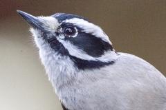 MG_6064-Downy-Woodpecker-female