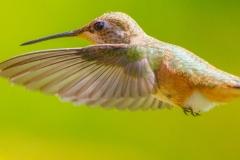 MG_6613Rufous-Hummingbird-female