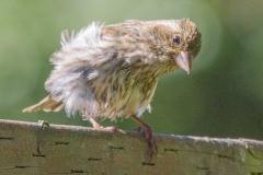 MG_7246-Purple-Finch-juvenile