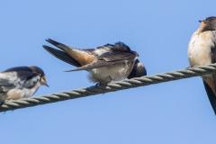 MG_7569-Barn-Swallows