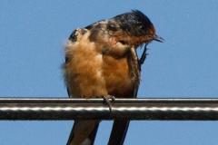 MG_7594-Barn-Swallow