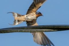 MG_7658-Barn-Swallow
