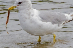 MG_7982-Mew-Shirt-bill-Gull