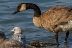MG_8225-Canada-Goose-Shot-billed-Mew-Gull