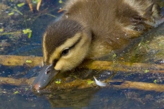 MG_8316-Mallard-Duckling