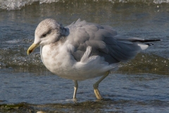 MG_8317-California-Gull