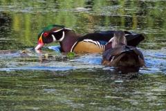 MG_8338-Wood-Ducks-pair