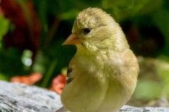 MG_8420-American-Goldfinch-female