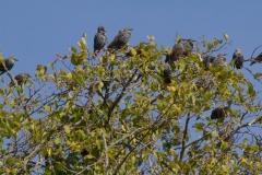 MG_8492-Starlings