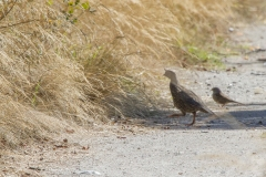 MG_8530-California-Quail-and-White-crowned-Sparrow