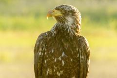 MG_8556-American-Bald-Eagle-juvenile