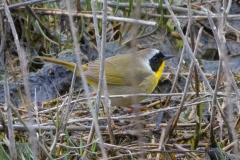MG_8600-Common-Yellowthroat