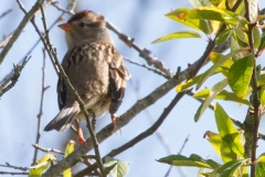 MG_8646-White-Crowned-Sparrow-juvenile