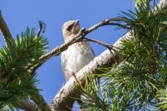 MG_8718-Cedar-Waxwing-juvenile