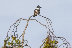 MG_8959-Belted-Kingfisher-female