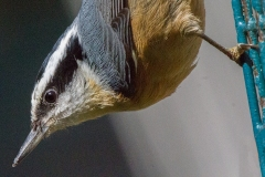 MG_9039-Red-breasted-Nuthatch