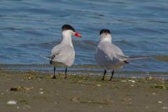 MG_9145-2-Caspian-Terns-pair