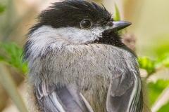 MG_9165-Black-capped-Chickadee