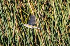 MG_9167-Yellow-rumped-Warbler