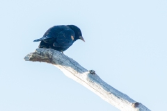 MG_9230-Red-winged-Blackbird-male