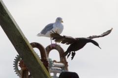 MG_9535-Glaucous-Winged-Gull-Pelagic-Cormorant