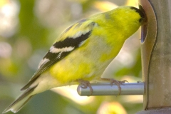MG_9597-Goldfinch