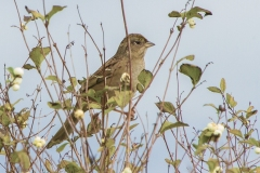 MG_9617-Gold-Crownd-Sparrow