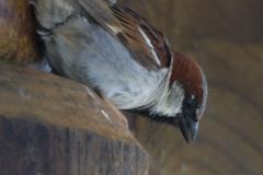 MG_0142-House-Sparrow