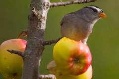 MG_0193-White-Crowned-Sparrow