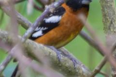 MG_0315-Black-Headed-Grosbeak-male
