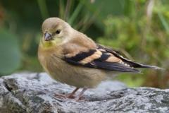 MG_1268-American-Goldfinch