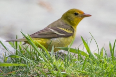 MG_1282-Western-Tanager