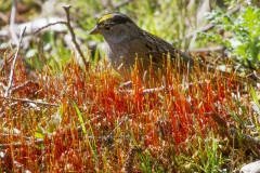 MG_1305-Golden-Crowned-Sparrow