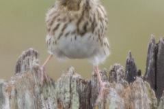 MG_1936-Savannah-Sparrow