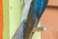 MG_2115-Tree-Swallow